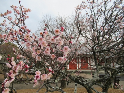 東僧坊前の梅