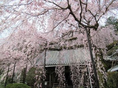 専称寺しだれ桜