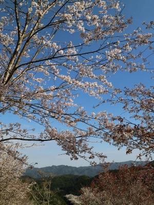 五郎兵衛茶屋付近の桜