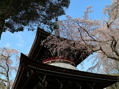東南院の桜