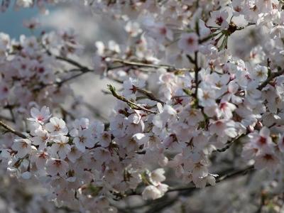 吉野の桜(下千本)
