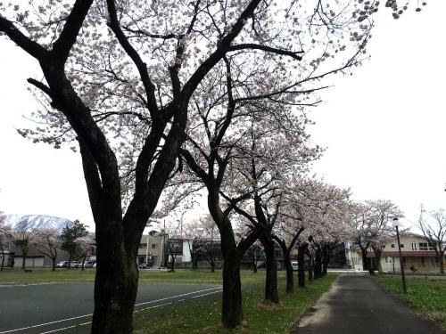 2017-04-11文化ホールの桜