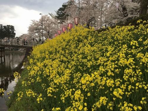 2017-04-15菜の花