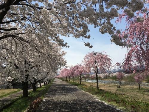 2017-04-16桜のトンネル