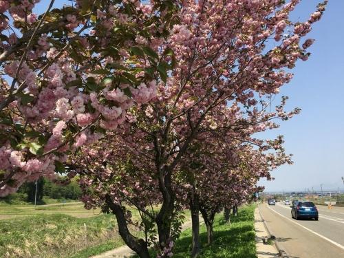 2017-04-30八重桜
