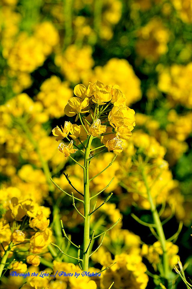 寒咲き菜の花2