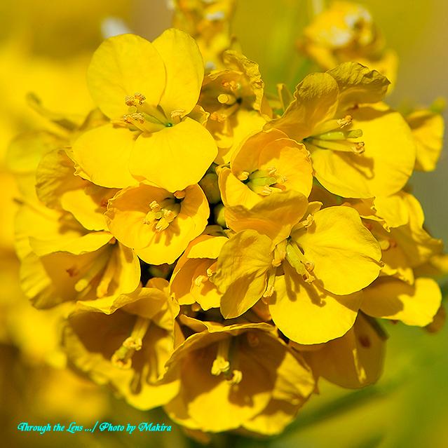 寒咲き菜の花4