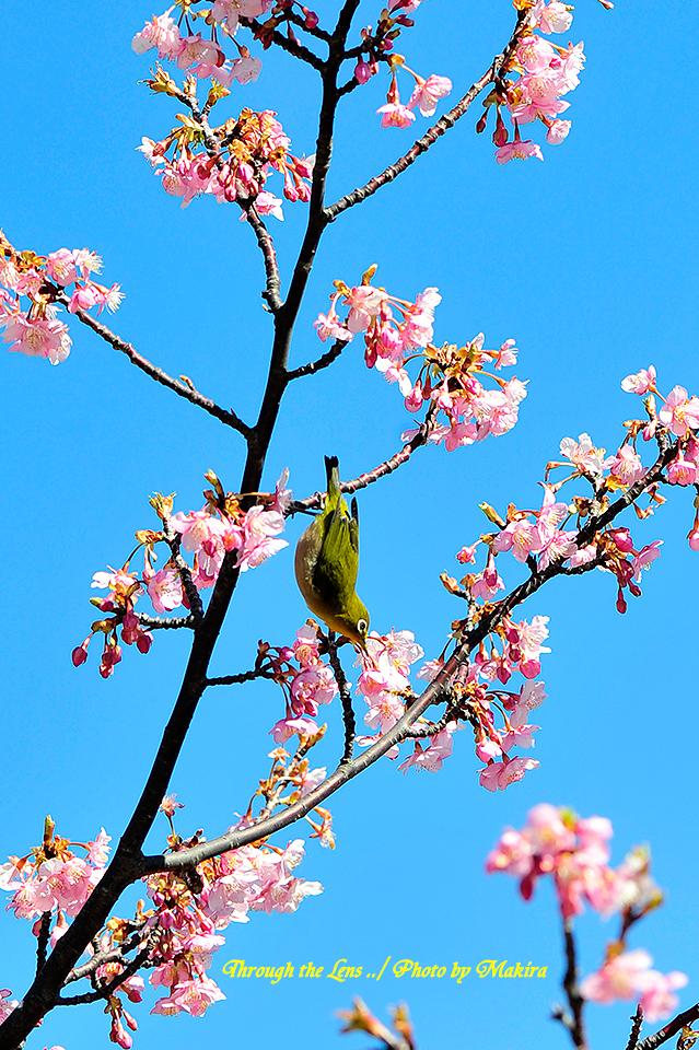 河津桜とメジロ3