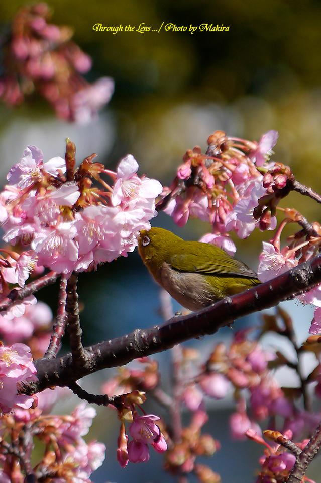 河津桜とメジロL4