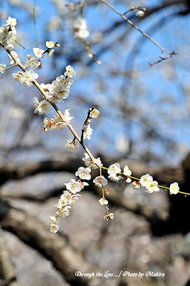 満月枝垂(マンゲツシダレ)1