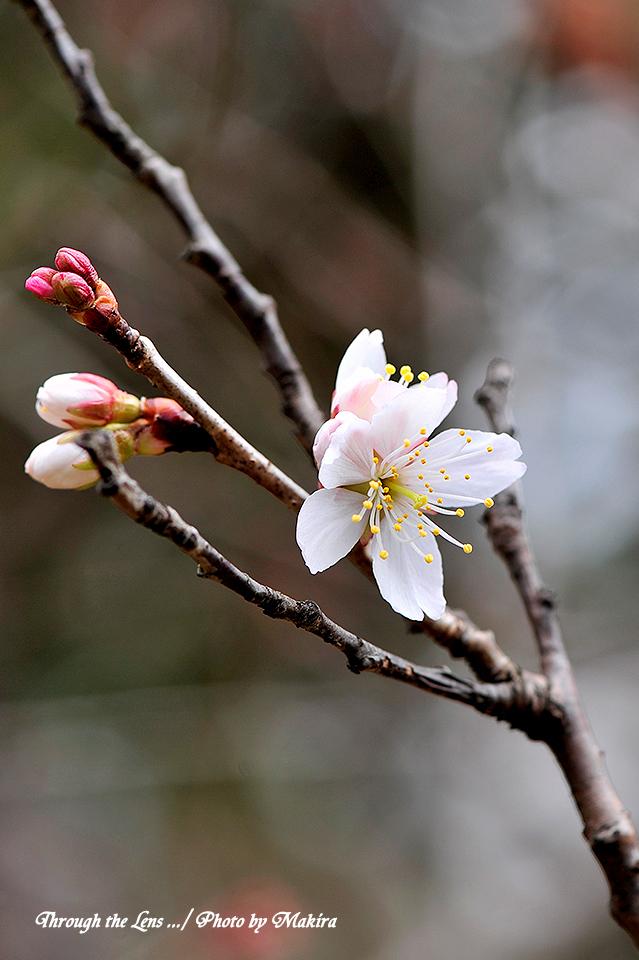 シナミザクラ'暖地桜桃'2