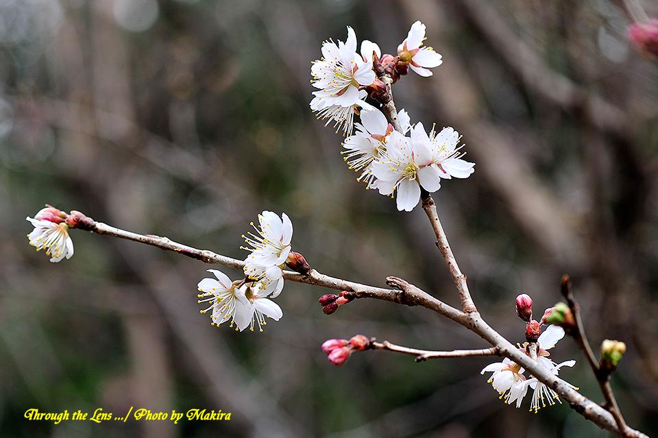 シナミザクラ'暖地桜桃'3