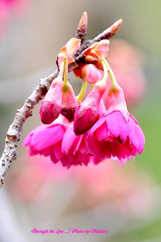 八重寒緋桜(ヤエカンヒザクラ)3