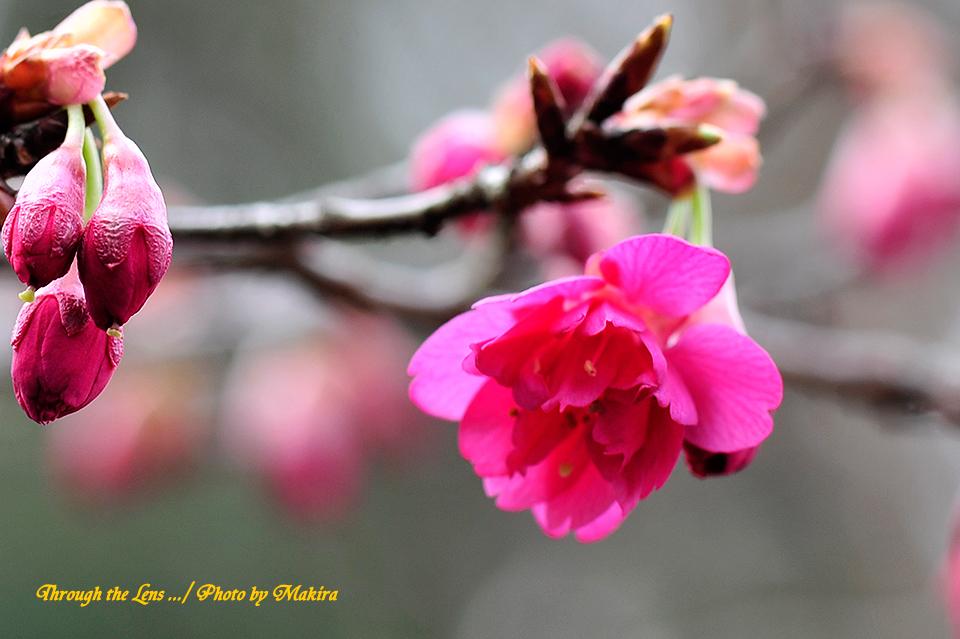八重寒緋桜(ヤエカンヒザクラ)4