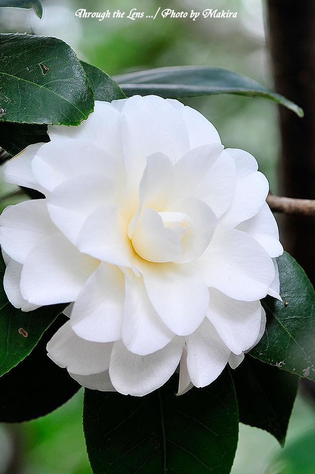 ツバキ'白菊(シラギク)'1