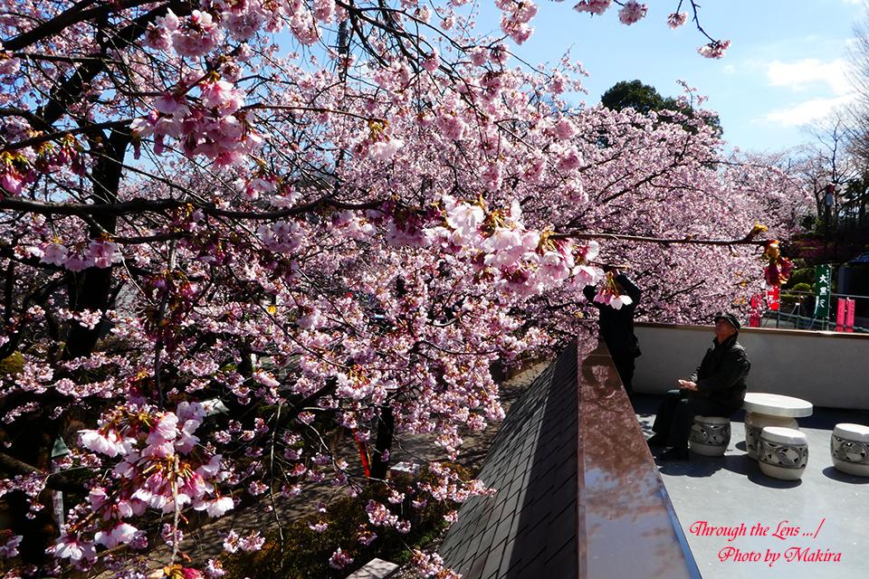 松雲閣よりの安行桜TZ1
