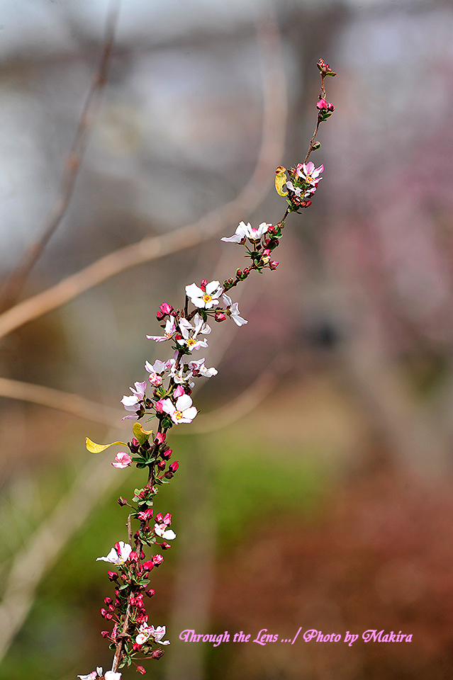 ピンクユキヤナギ1