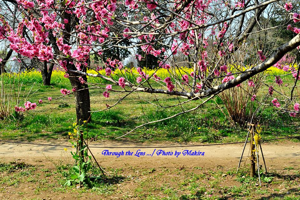 桃と菜の花2