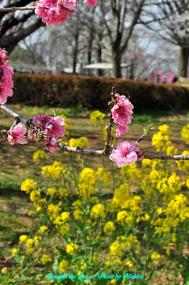 桃と菜の花4