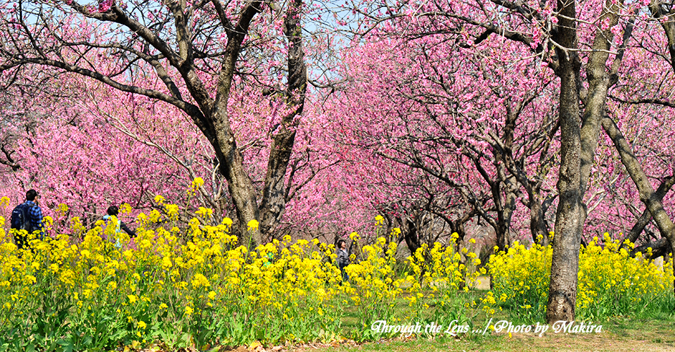 桃と菜の花6