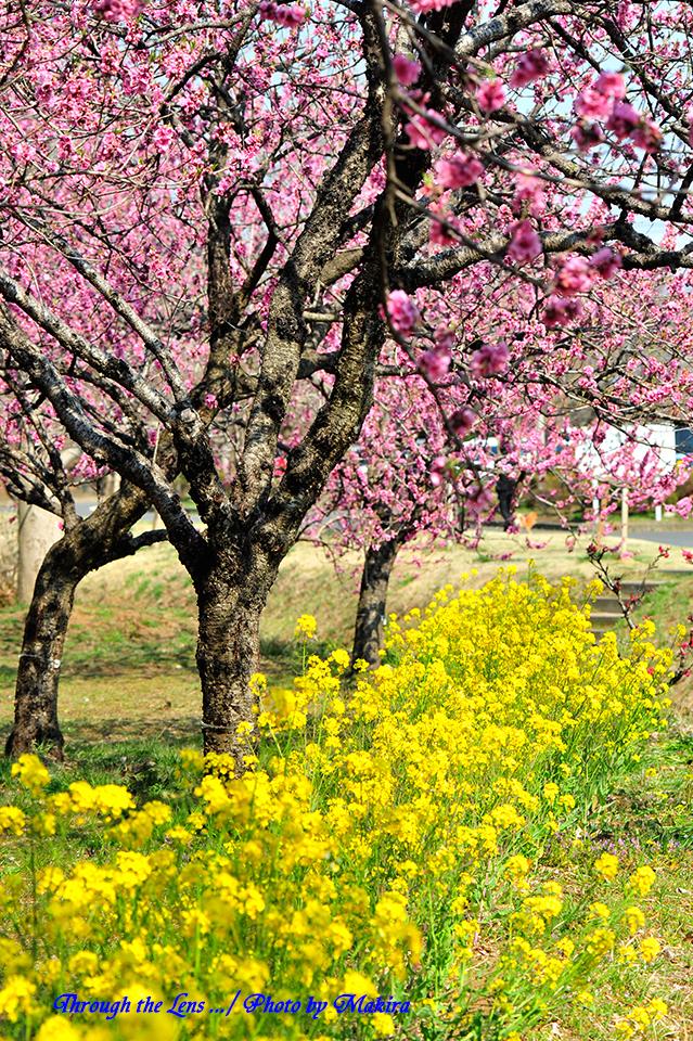 桃と菜の花7