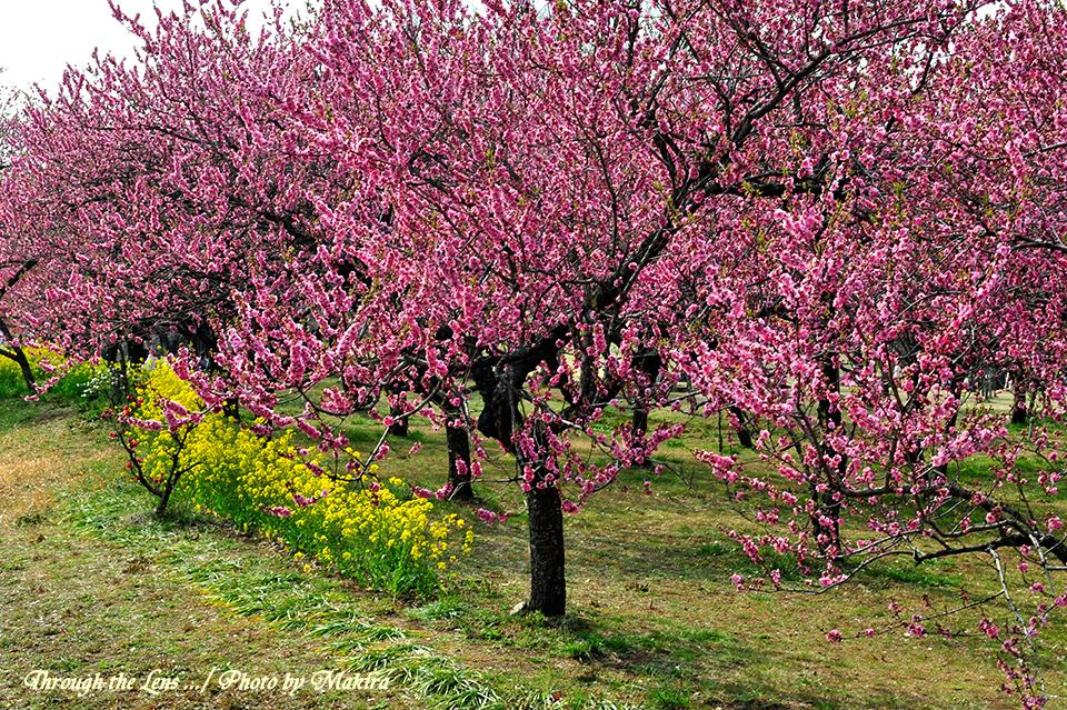桃と菜の花10