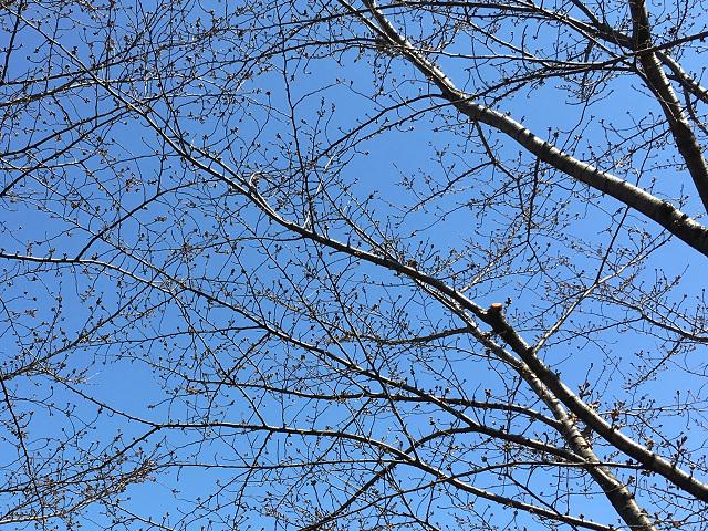 2017年3月22日東京桜の樹2 by占いとか魔術とか所蔵画像