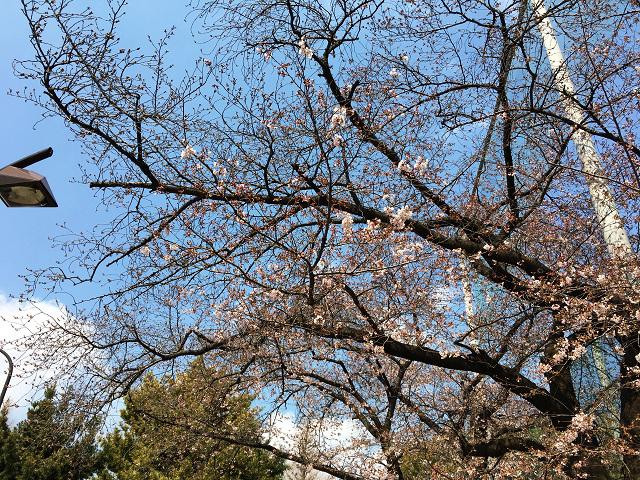 2017年4月3日五分咲きの東京桜3 by占いとか魔術とか所蔵画像