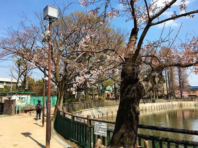 2017年4月3日五分咲きの東京桜4 by占いとか魔術とか所蔵画像