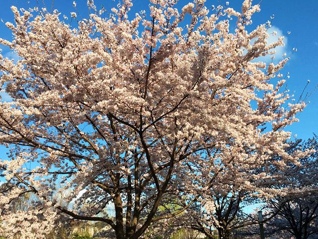 東京満開散り際の桜 by占いとか魔術とか所蔵画像