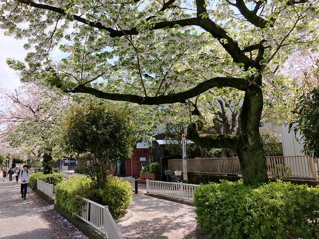 東京の桜散る3 by占いとか魔術とか所蔵画像