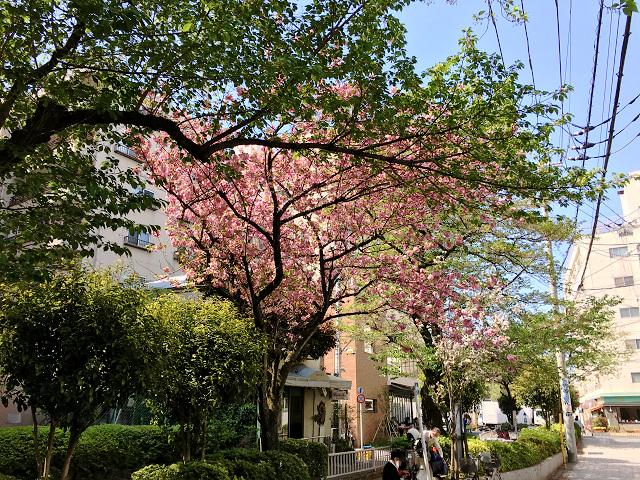完全に青葉になった2017年の東京の桜1 by占いとか魔術とか所蔵画像