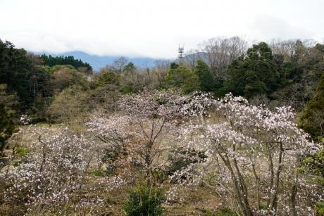 s_kobushi_16.jpg