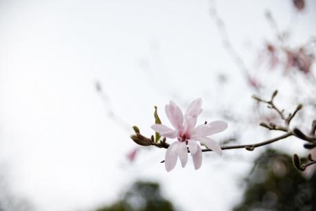 s_kobushi_9.jpg
