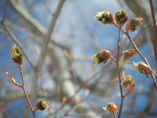 ブナの芽ぶき