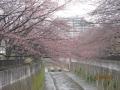 石神井川咲いたらもうもう一度載せます。