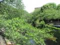 石神井川①