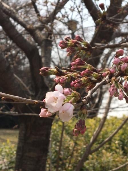 0330桜②
