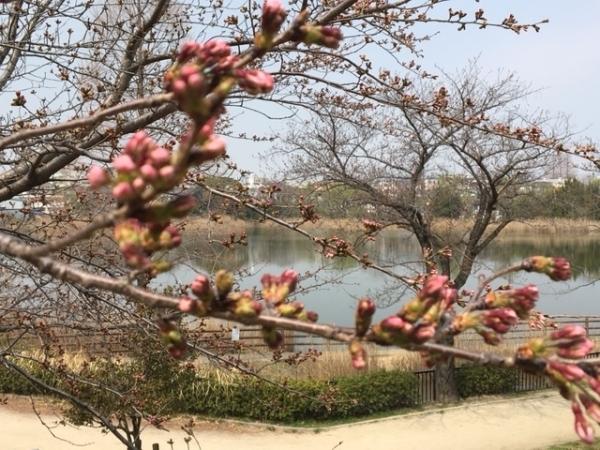 0330桜③