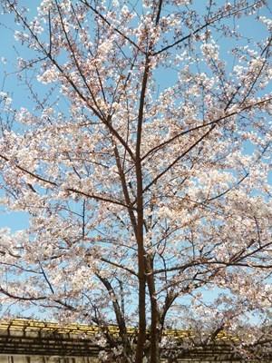 大阪城桜4
