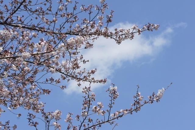 桜パトロール ① 1