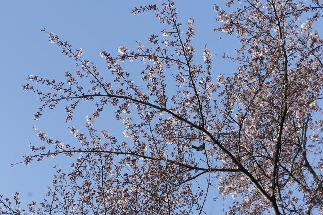 桜パトロール ① 2