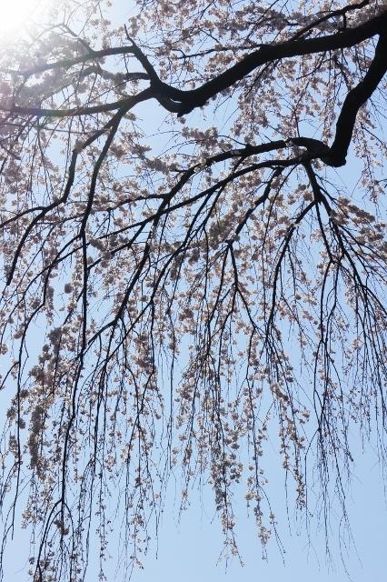 桜パトロール ① 3