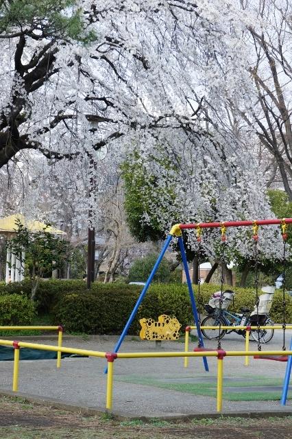 桜パトロール ① 7