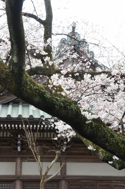 桜パトロール ① 13
