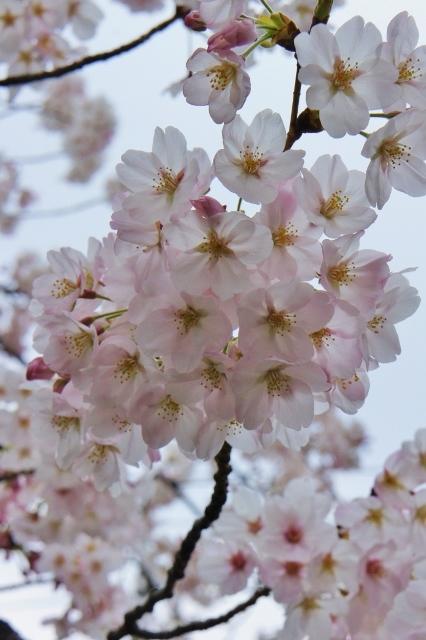 桜パトロール ① 15