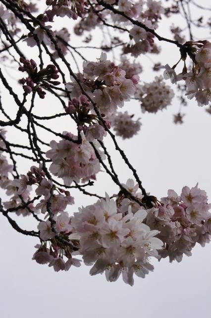 桜パトロール ① 16