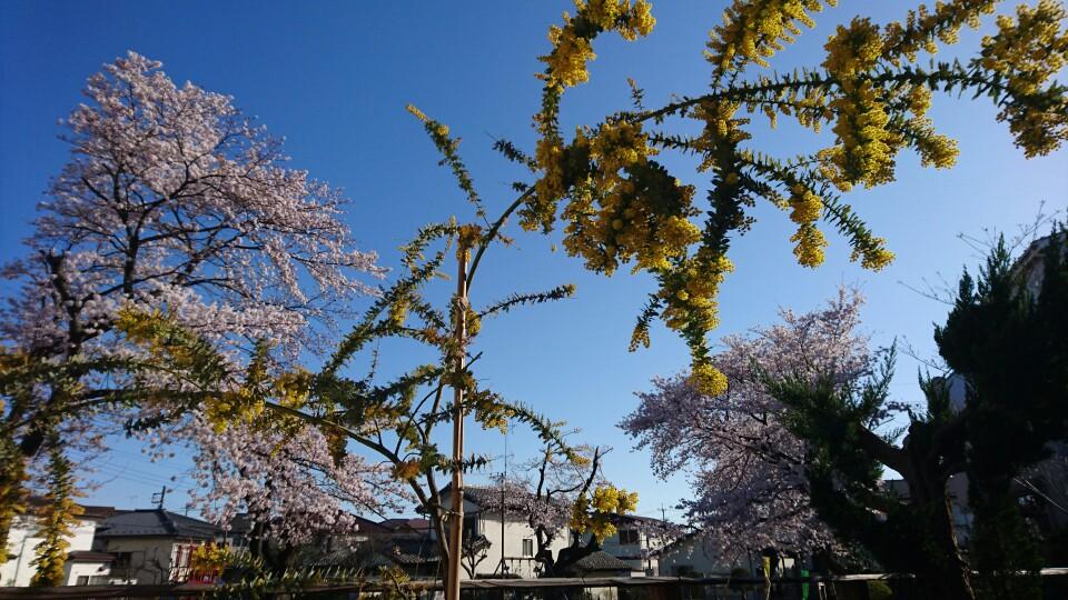 桜とミモザ、そして青空