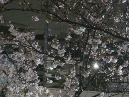 yozakura to yu (10)