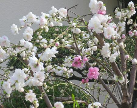 sakura chirihajime04817 (2)